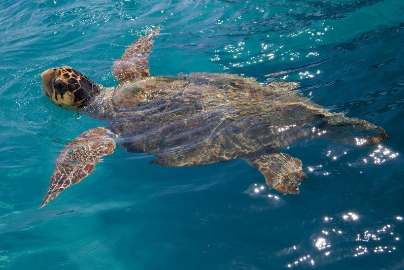 Želva Caretta Caretta, Zakynthos, Řecko, cestovní kancelář KM TRAVEL